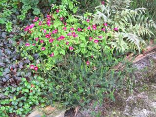Gaultheria procumbens, en bas à droite