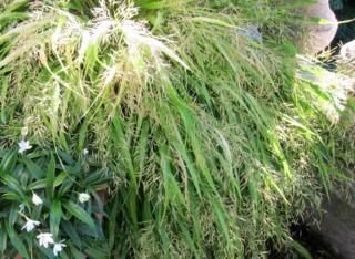 Hakonechloa macra - Floraison