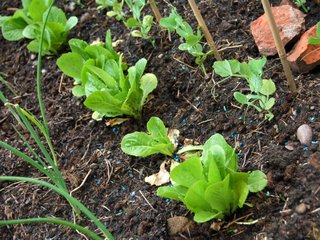 Légumes : les bons voisins