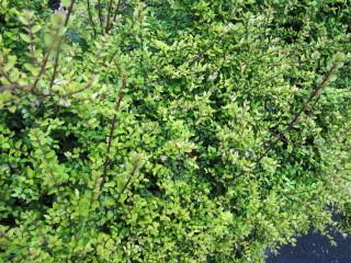 Lonicera nitida - Chèvrefeuille arbustif
