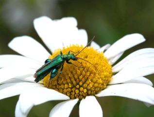 Oedemere commune sur une fleur de marguerite