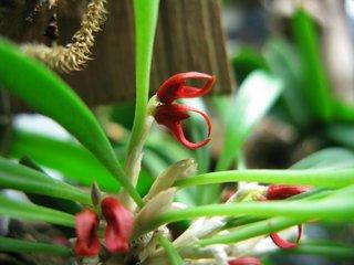 Pleurothallis tribularoides