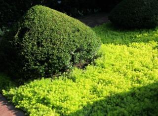Myrtus communis taillé en topiaire