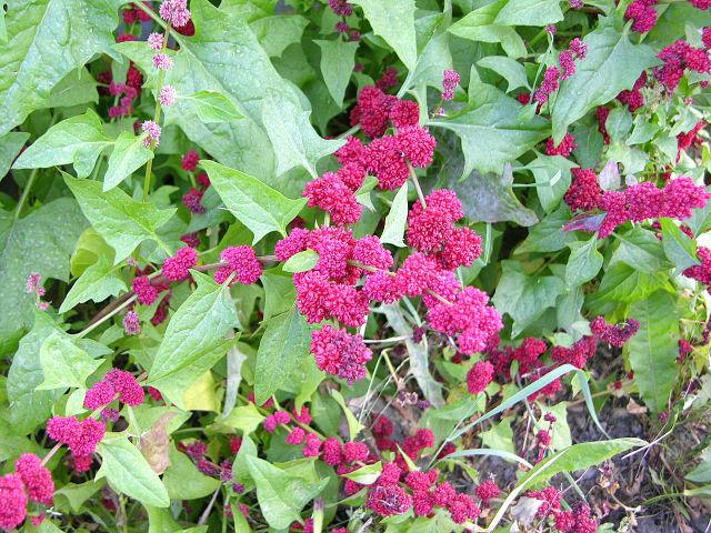 Epinard-fraise : semis, culture et récolte