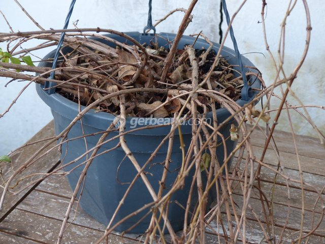 Fuchsia : sortie d'hivernage au printemps