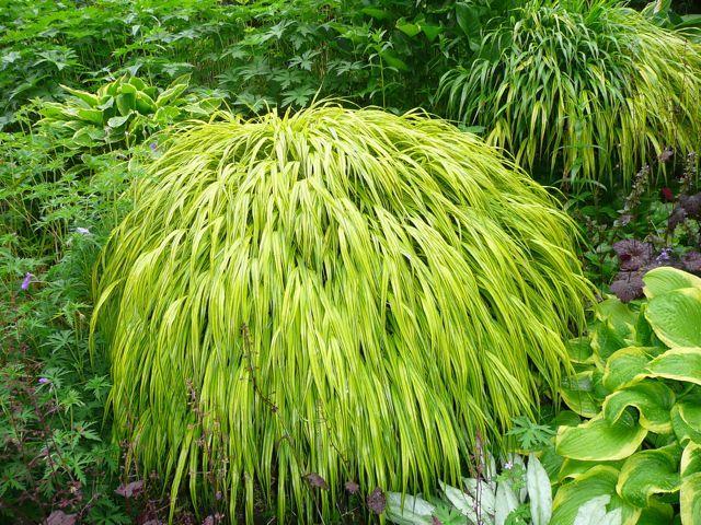 Herbe du Japon, Hakonechloa macra : culture, variétés