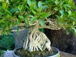 Ficus bonsaï, ficus ginseng, Ficus microcarpa