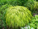 Herbe du Japon, Hakonechloa macra