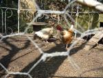 Protéger ses poules des prédateurs