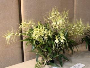 Brassia verrucosa particulièrement florifère
