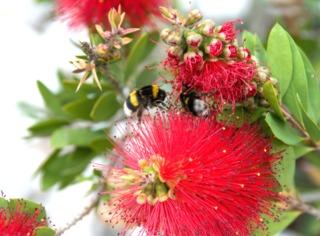 Bourdons butinant des fleurs de Callistemon