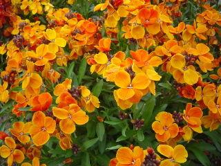 Giroflée ravenelle (Cheiranthus cheiri 'Bedder' orange)
