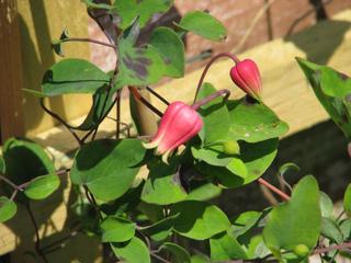 Clematis texensis - Fleur avant épanouissement