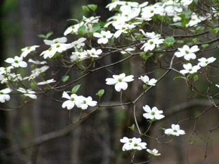 Cornus florida, cornouiller à fleurs