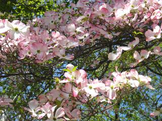 Cornus florida à bractées roses