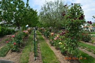 Rosiers anciens et modernes dans les allées du Jardin des roses