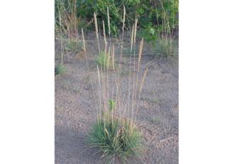 Koeleria glauca dans son milieu naturel