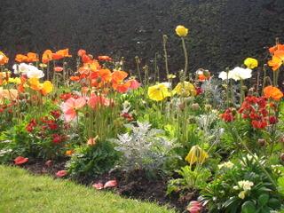 Massif de printemps : pavot d'Islande, giroflées, cinéraire