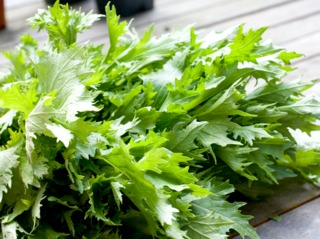 Récolte de feuilles de mizuna