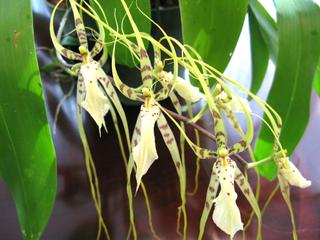Brassia (Brassada) : culture et entretien de l'orchidée araignée