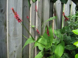 Persicaire amplexicaule, Persicaria amplexicaulis