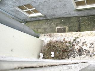 Nid de pigeon sur un rebord de fenêtre