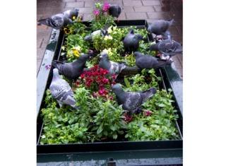 Pigeons saccageant des plantations