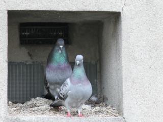 Faire fuir les pigeons : solutions anti-pigeon