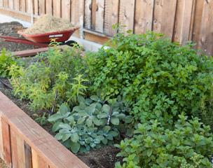 Plantes aromatiques à l'ombre