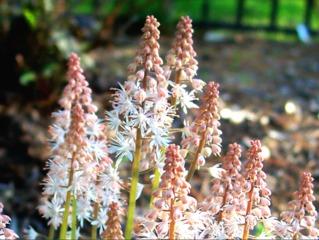 Tiarelle - Fleurs