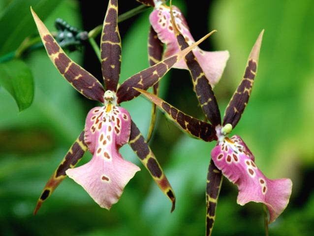 Brassia Brassada Culture Et Entretien De L 39 Orchid E Araign E