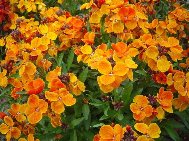 Girofl e ravenelle cheiranthus cheiri semis plantation for Jardin de invierno sa