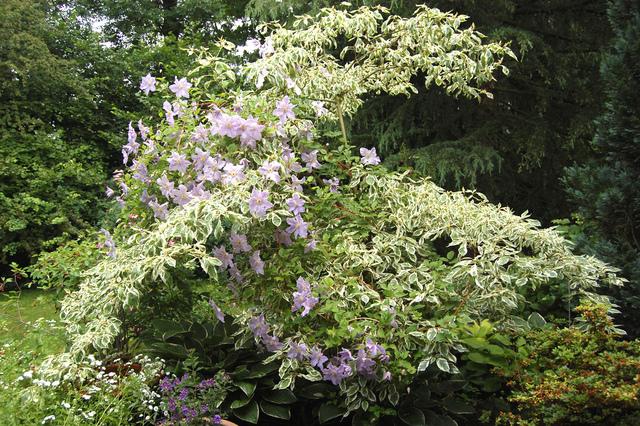 Cornus kousa et clématite (Jardin sauvage)