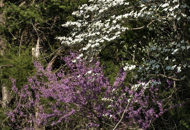 Cornus florida et Cercis canadensis (Jardin sauvage)
