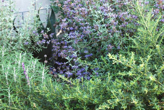 Achill e poussant entre les dalles jardin sauvage for Jardin sauvage