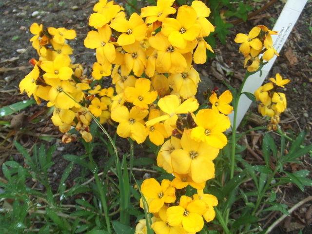 Giroflée ravenelle, Cheiranthus cheiri : semis, plantation, culture