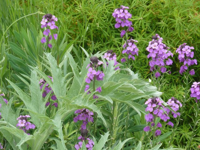 foto de Giroflée ravenelle Cheiranthus cheiri : semis plantation