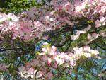 Cornus florida, un cornouiller à fleurs