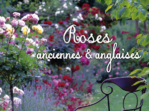 Roses anciennes et anglaises