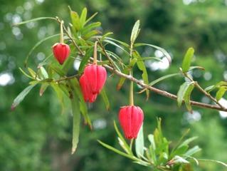 Crinodendron, arbre aux lanternes du Chili