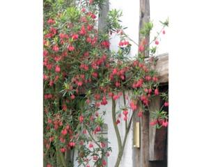 Crinodendron hookerianum planté devant une façade
