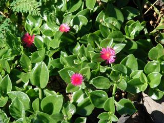 Aptenia cordifolia (ficoïde)