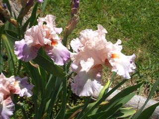 Iris de jardin en bordure