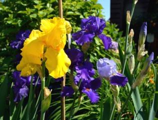 Iris barbus jaune et bleu