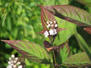 Keiskea japonica à feuillage pourpré