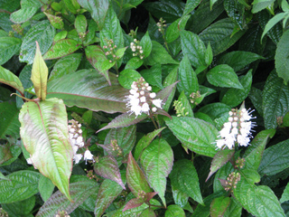 Keiskea japonica : plantation, culture, entretien