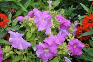 Petunia x 'Lavender'