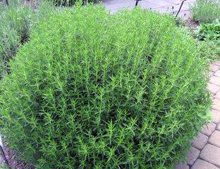 Sarriette vivace (satureja montana)