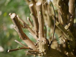 Taille courte (buddleia)