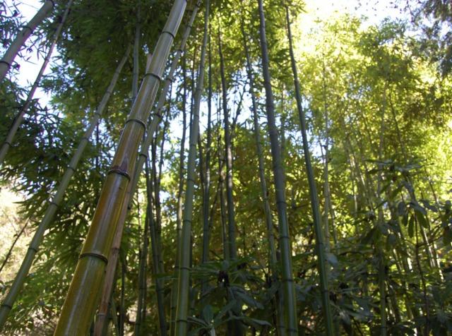 Bambous géants : utilisation au jardin, variétés